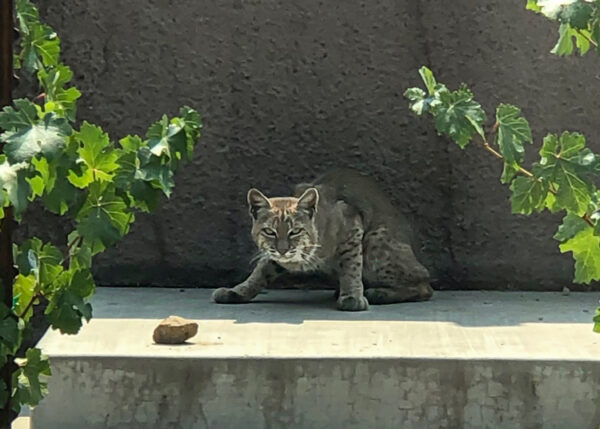 Bobcat Stare - 2020